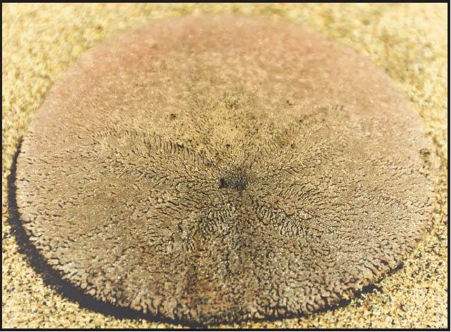 Sand Dollars Closeup 1