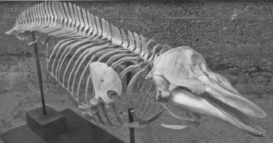 Skeleton Harbor Porpoise