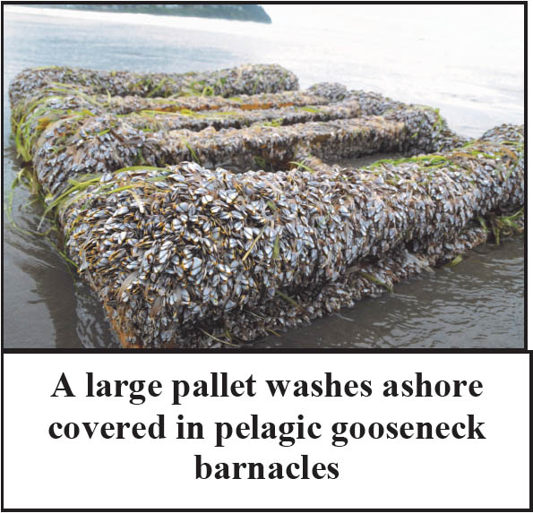 PALLET COVERED WITH PELAGIC GOOSENECK BARNACLES