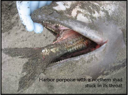 Harbor Porpoise with Northern Shad stuck in mouth.