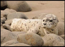 seal pup near rocks