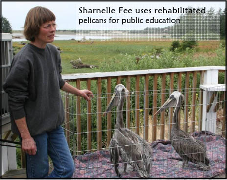 Sharnelle Fee uses rehabilitated pelicans for public education