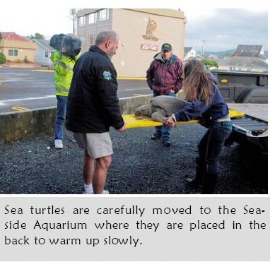 Sea Turtle brought into the Seaside Aquarium to warmup